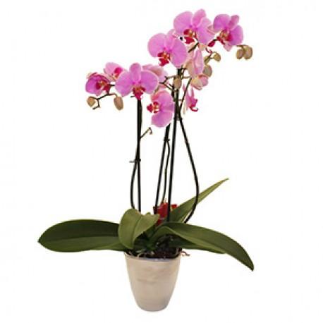 Orchid Plant In ceramic pot